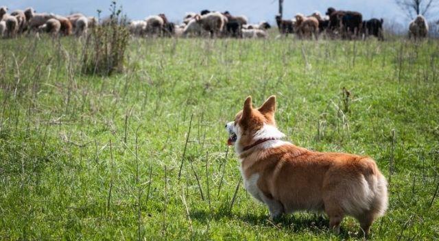 A corgi dog looking across fields to sheep
