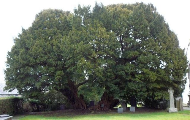 Llangernyw Yew tree