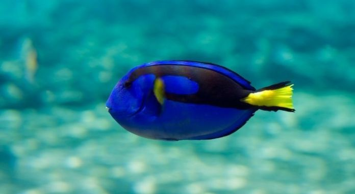 A blue tang swimming in the clear blue waters