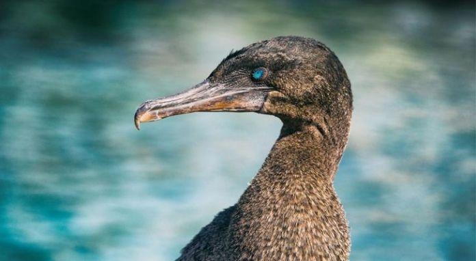The Galapagos cormorant