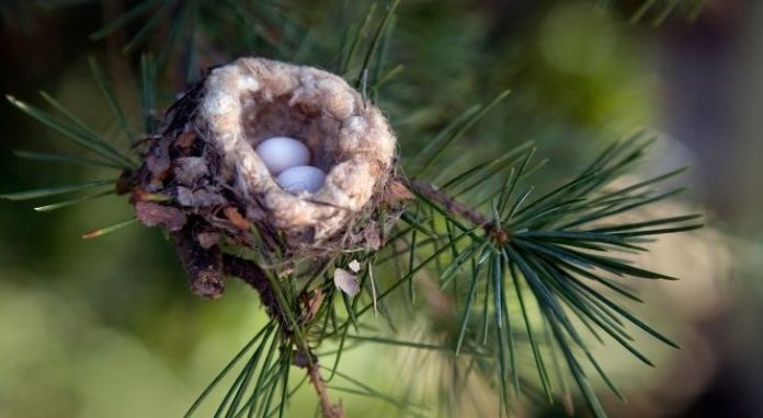Two tiny hummingbird eggs in a little nest