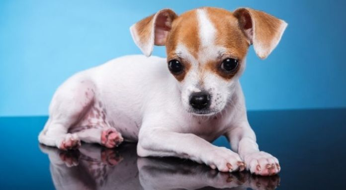 A cute looking Chihuahua with a white body and brown spots on its head