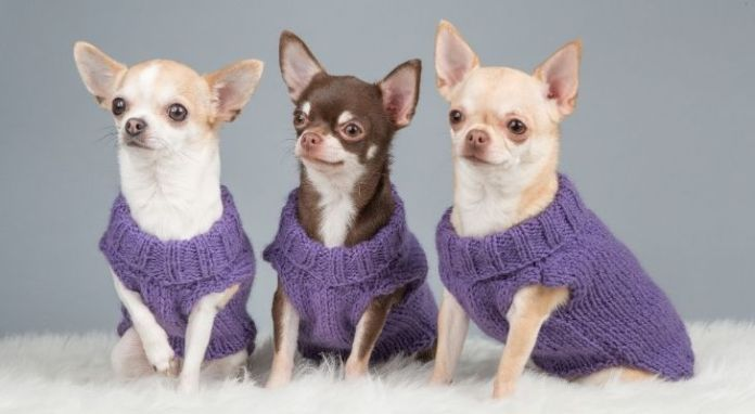 Three Chihuahuas wearing purple sweatshirts