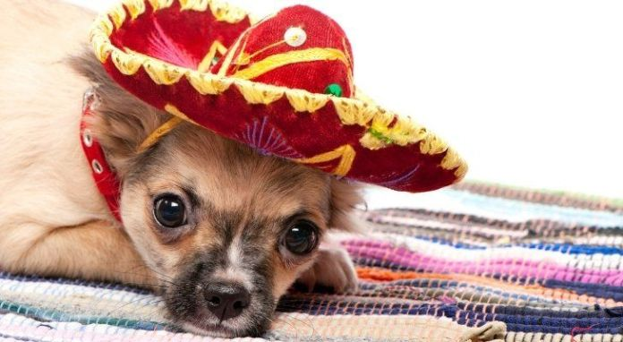 A Chihuahua wearing a little sombrero