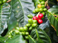 boquete panama coffee farm