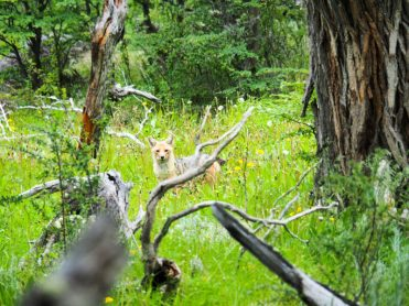 The Patagonian fox