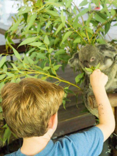 koala encounter
