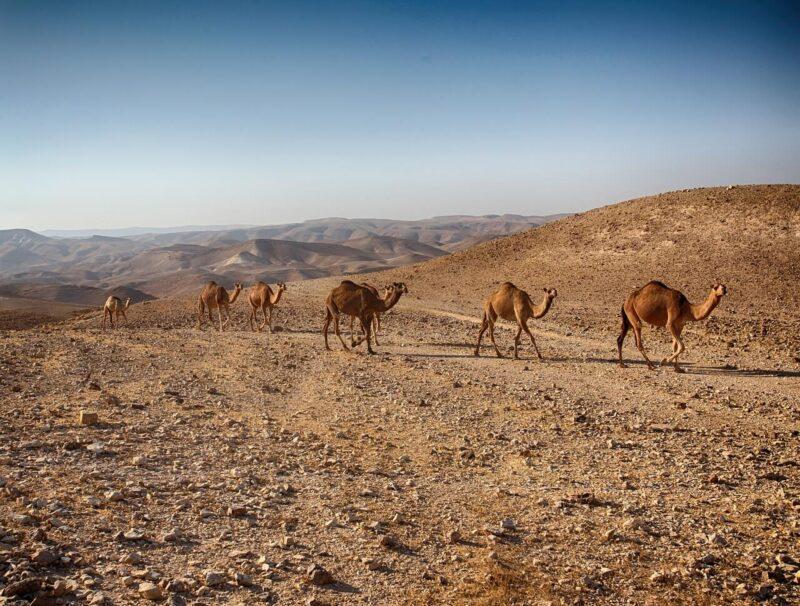 Camels in Israel. #camels #Israel #desert