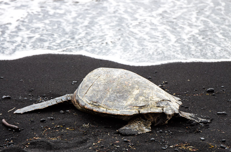 Hawaiian sea turtle on a black sand beach, Big Island, Hawaii