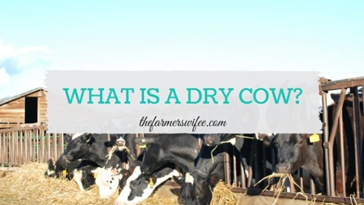 What is a dry cow_