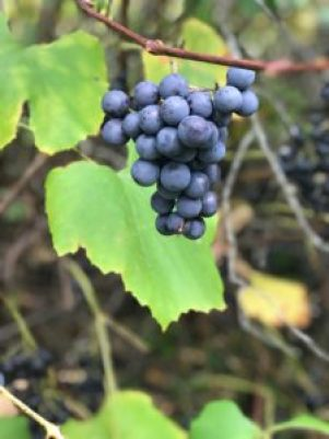 wild grapes on the vine