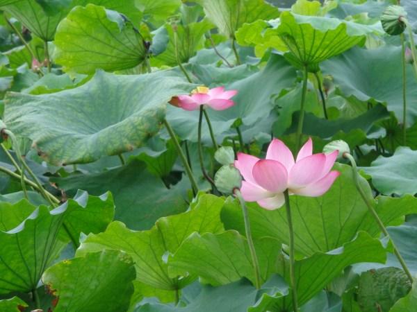 Hangzhou Water Lillies