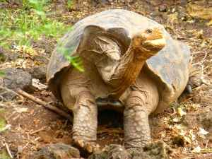 Charles Darwin Center: Tortoises