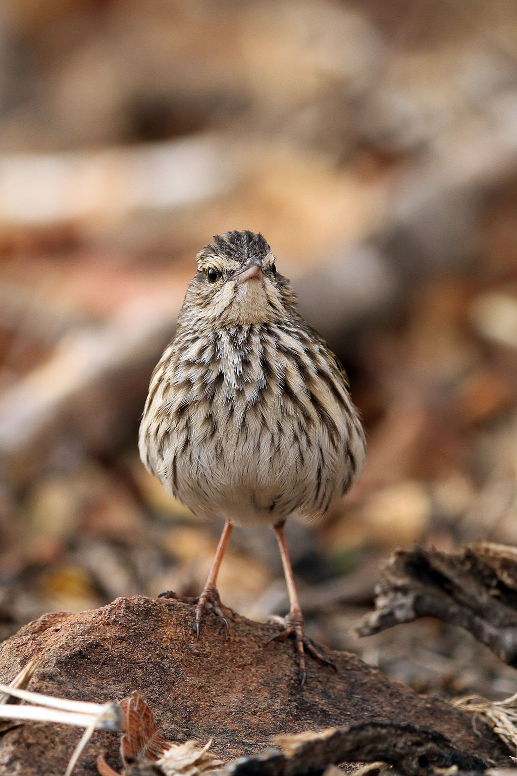 Striped Pipit Bird Amp Wildlife Photography By Richard And