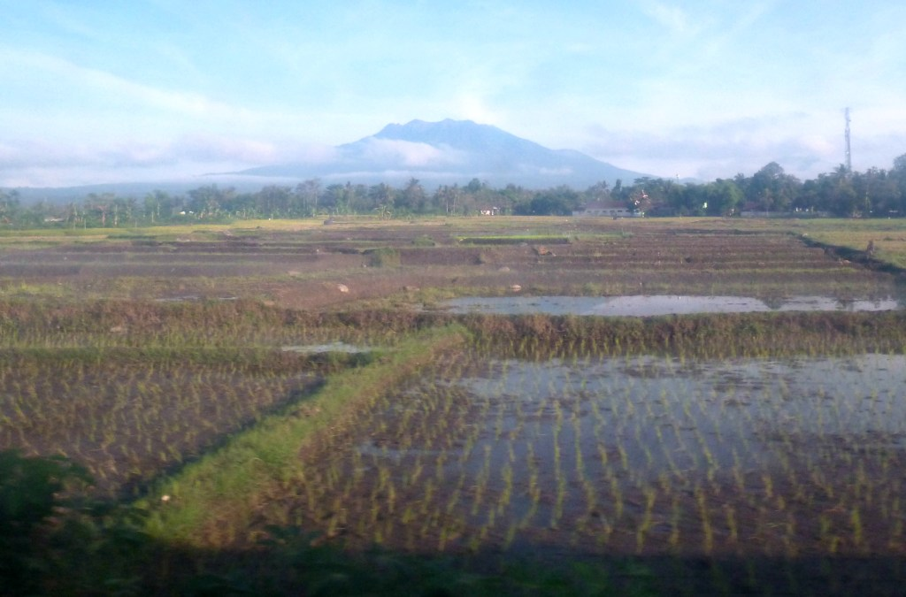 Paddy fields from the train window
