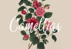 Camellias [2 Fonts + Extras] | The Fonts Master