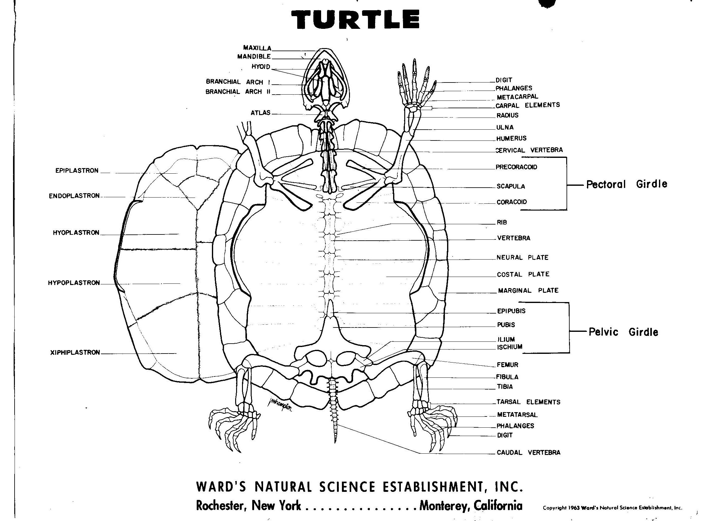 Turtle Skeleton Diagram