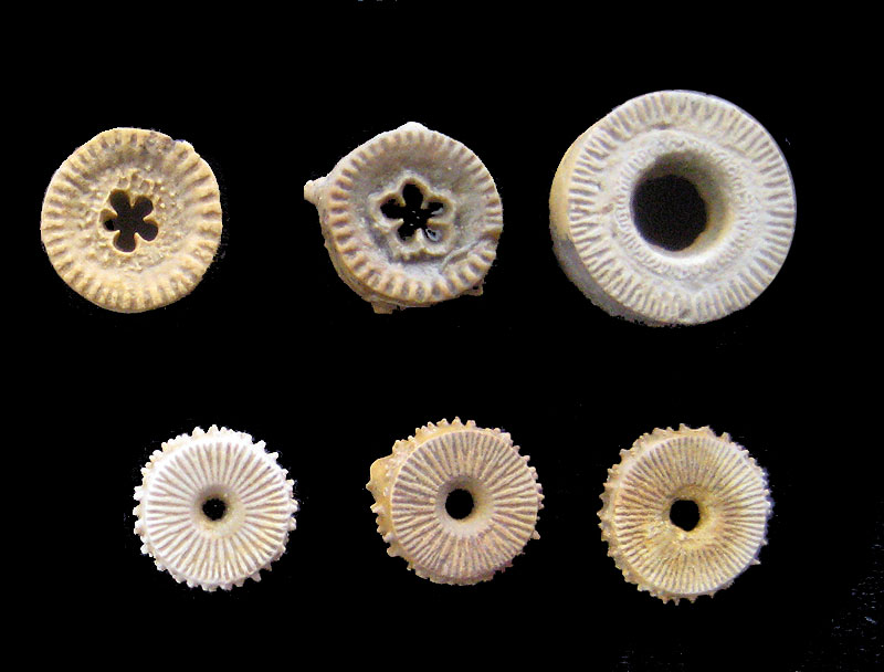 Image result for crinoid columnals
