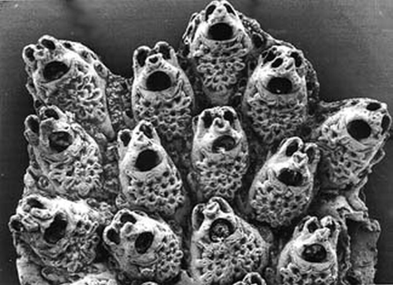 Image result for bryozoa singing