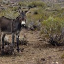 Arizona's Wild Free-Roaming Burros: The Videos