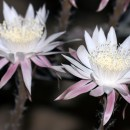 Night-Blooming Cereus at Tohono Chul Park in Tucson, Arizona