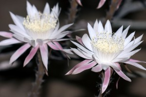 Two Night-Blooming Cereus