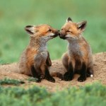 baby-2-foxes