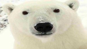 Doomsday vault polar bears