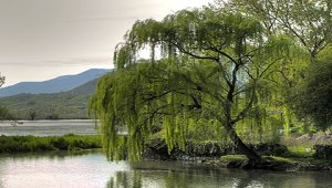 The End of The Willow Trees