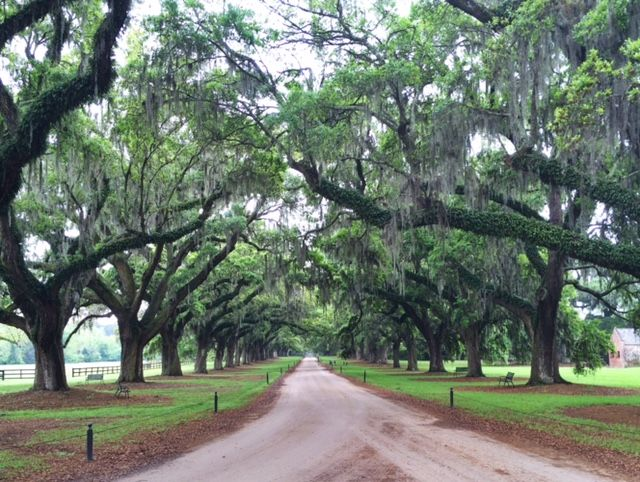 Oak Trees at Boone Hall Plantation in South Carolina