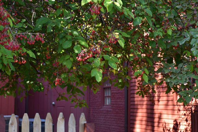 tree, berries, noah webster house, nature, west hartford, connecticut