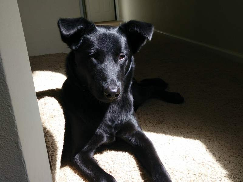 black dog in sunlight