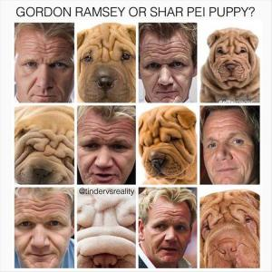 gordon-shar-pei-puppy