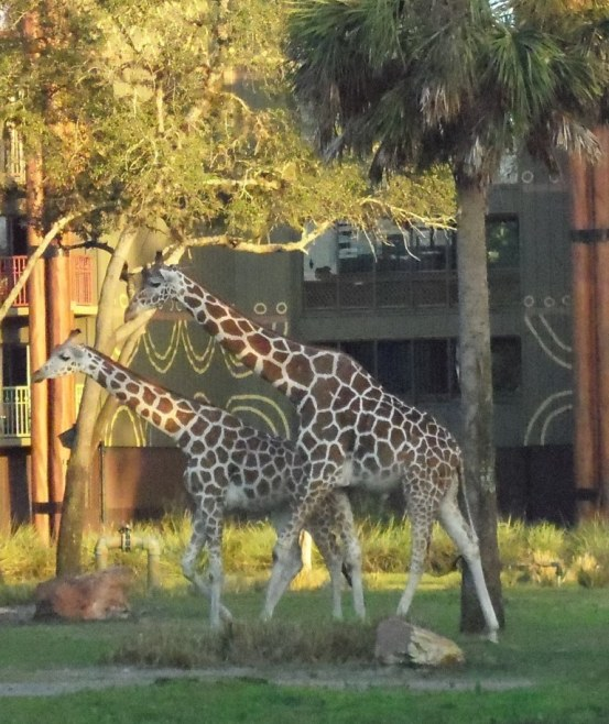 giraffes at animal kingdom lodge
