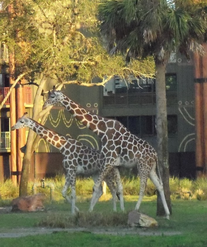 giraffes at animal kingdom lodge