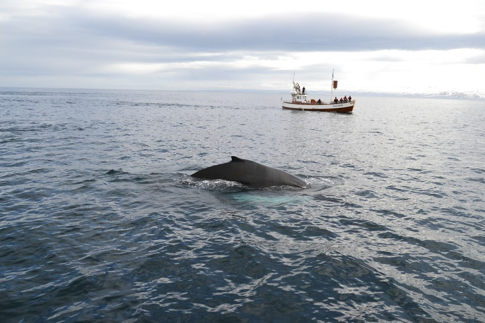 whale and whale watching boat in iceland