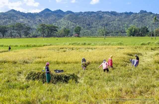 Sipalay rice field