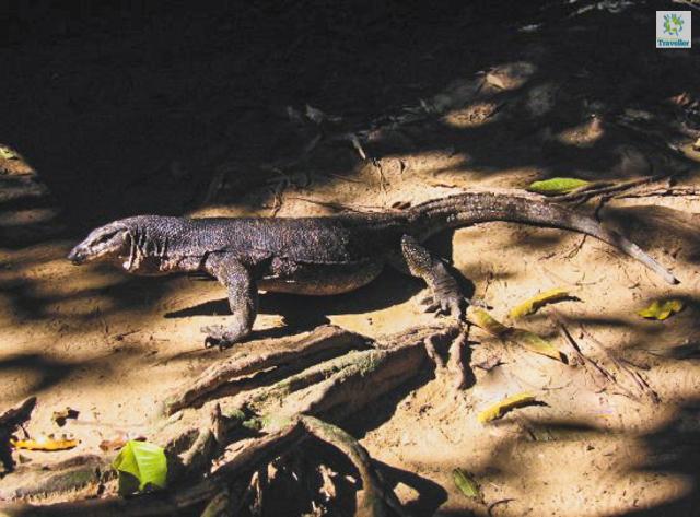 Komodo Dragon at Ferrata Nature Park