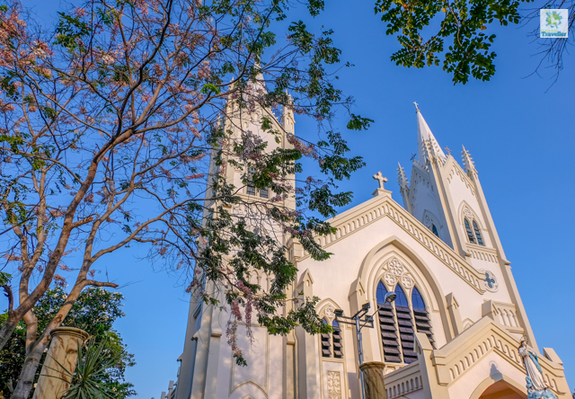 Balayong trees which are oftentimes mistaken as Cherry Blossom, beside the Cathedral.
