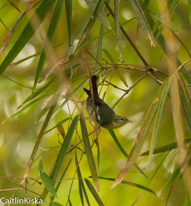 Female Cerulean Warbler - Colombian Migrant - Bucaramanga
