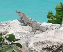 11 tips for travel in Mexico: iguana