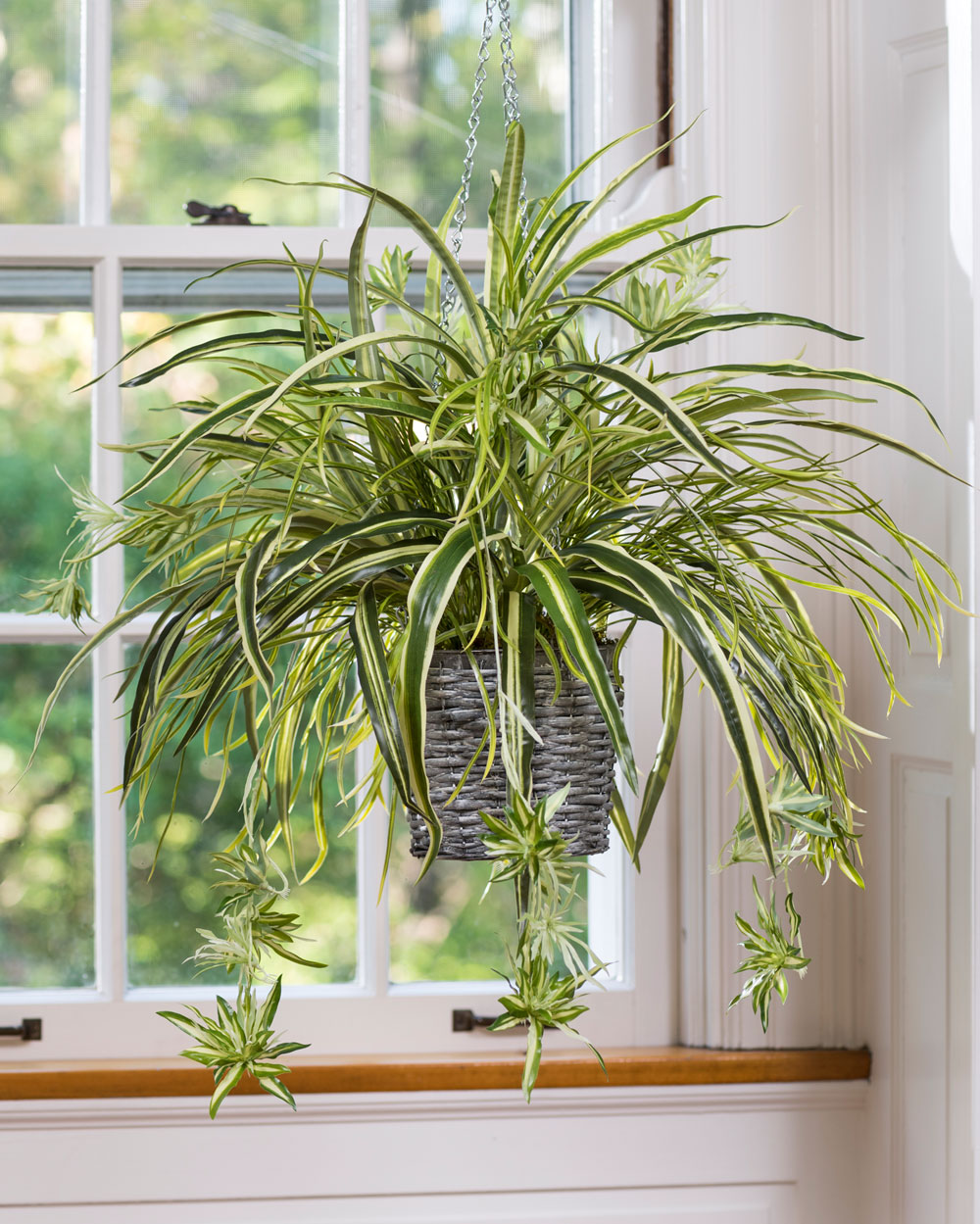 Types Indoor Hanging Plants