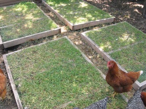 Plant and grow nourishing greens for your chickens that will last for months.