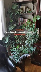 How to grow a Schefflera or Umbrella Plant