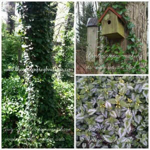 Can you control a groundcover? Invasive plant to avoid