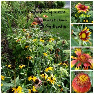 Gaillardia (Blanket Flower) a Native Flower for the Sun Garden, native perennial