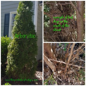 Planting Arborvitaes in the garden, Arborvitae leaf drop