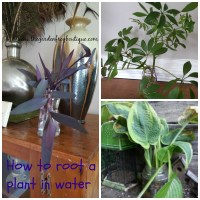 How to root a plant in water