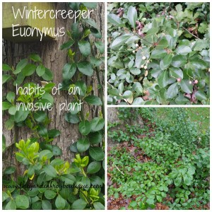 Wintercreeper Euonymus is a shrub, groundcover, and a climber