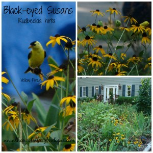 Black Eyed Susans in the garden, native perennial, full sun gardening